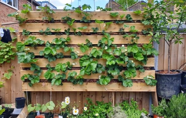 Strawberries in a vertical planter