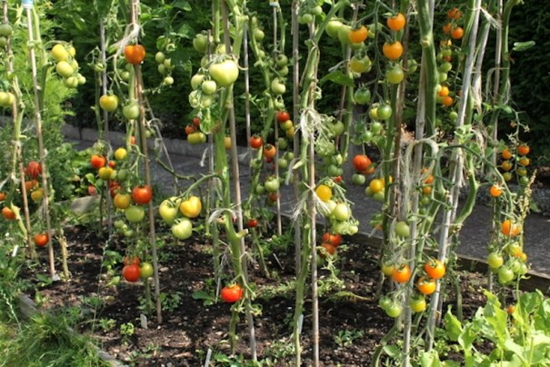 Removing large leaves from cordon tomatoes
