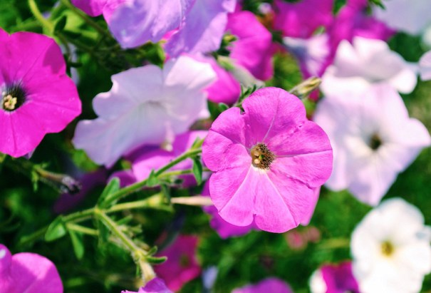 plantes en plug pétunia vibrantes