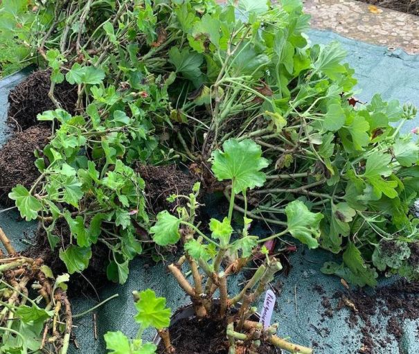 Plantes de pélargonium envahies