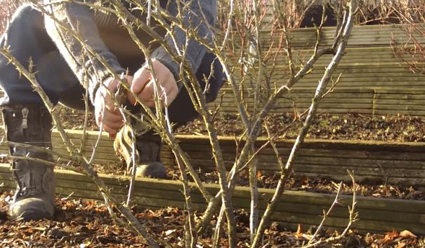 Pruning gooseberry braches