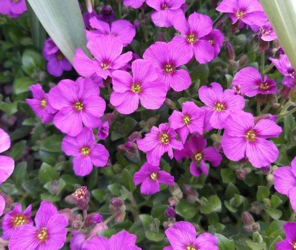 Fleurs d'aubrieta pourpre