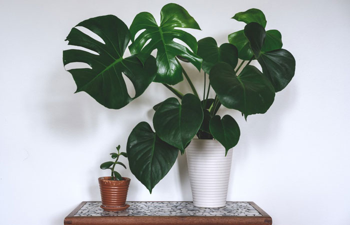 Monstera plant on a table