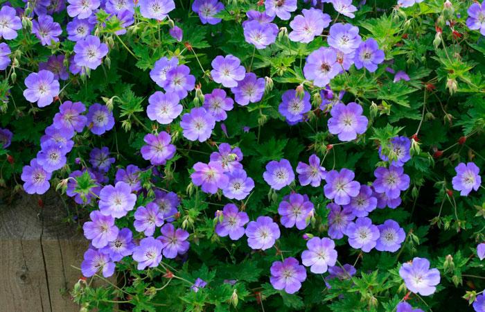 Geranium Rozanne plant