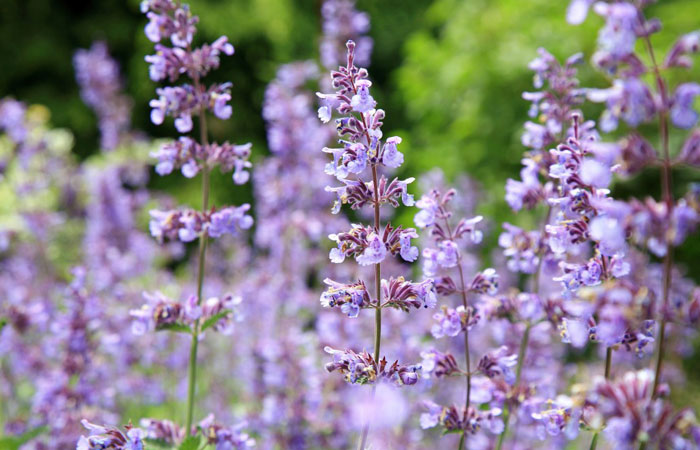 Nepeta plants