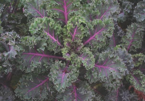 Kale 'Midnight Sun' from T&M