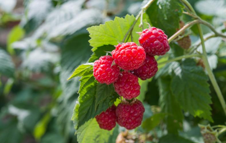 Raspberry 'Glen Ample' from Thompson & Morgan