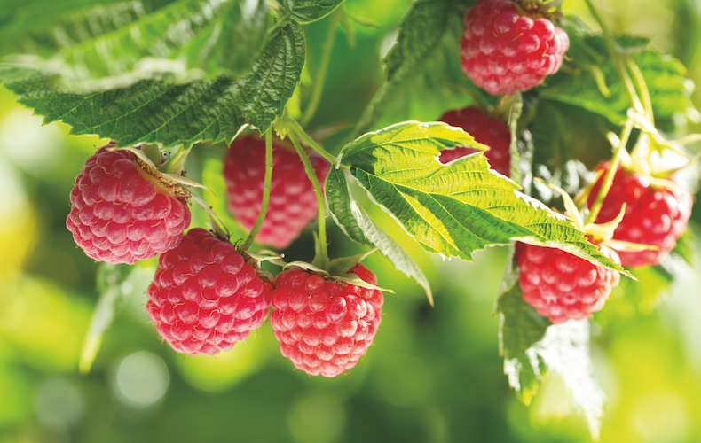 Image: Raspberry 'Polka' from T&M