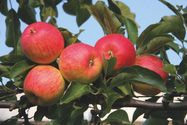 Apple 'Red Falstaff' from Thompson & Morgan