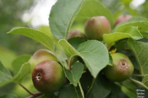 Apples ripening on tree