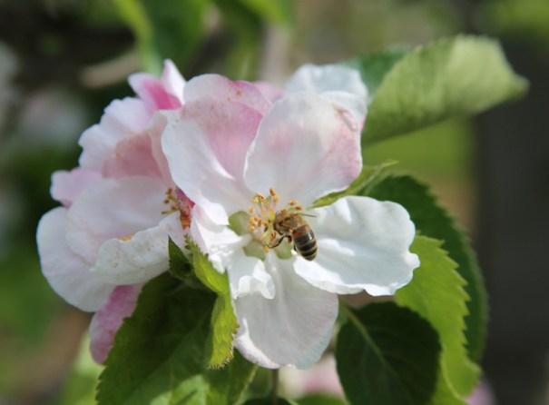 Bramley apple blossom with honeybee