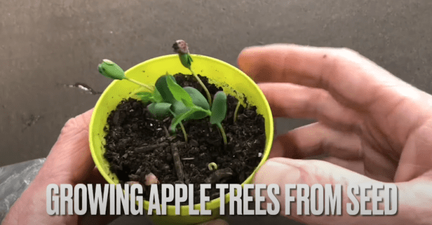 Growing apple trees from pips