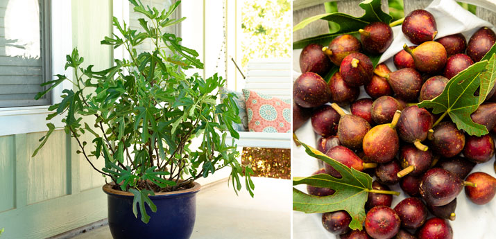 Fig (Ficus) 'Little Miss Figgy'