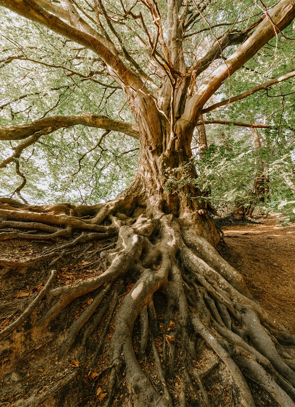 Large tree with visual root system