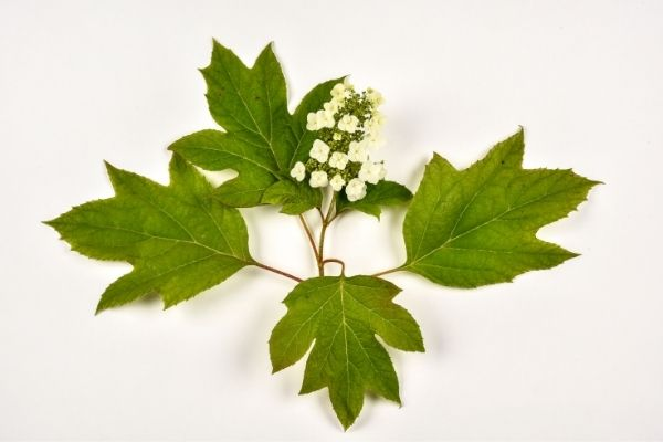 One oakleaf hydrangea bloom with 4 leaves.