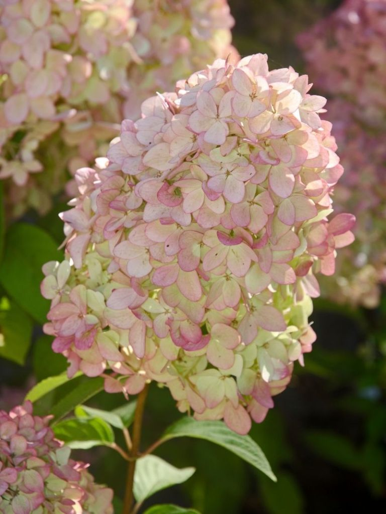 Pinky hydrangea cone flowers in a close view.