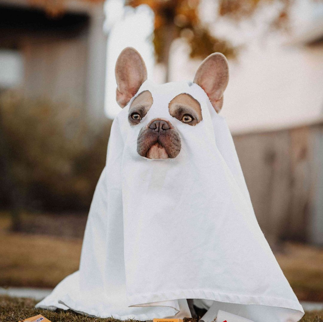 French bulldog in a ghost Halloween costume