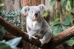 ThorstenSteiner_Koalas_1