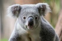 ThorstenSteiner_Koalas_12