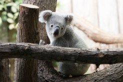 ThorstenSteiner_Koalas_2