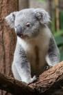 ThorstenSteiner_Koalas_9