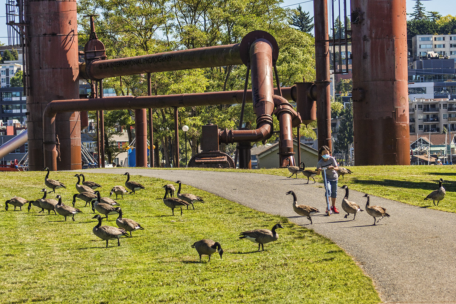 A child scoots along a path where geese cross at Gas Works Parks in Seattle. (September 2020)