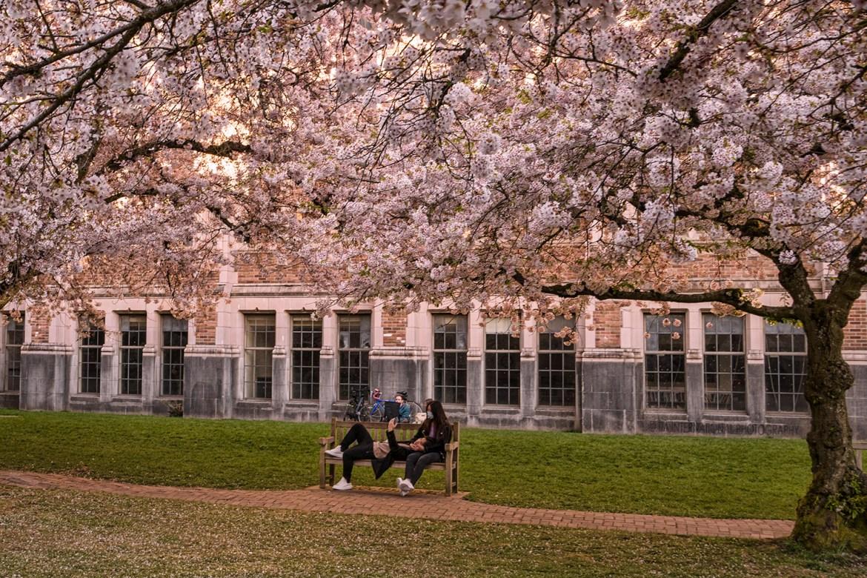 Cherry Blossom Trees at the Quad, University of Washington-Seattle. (April 2021)