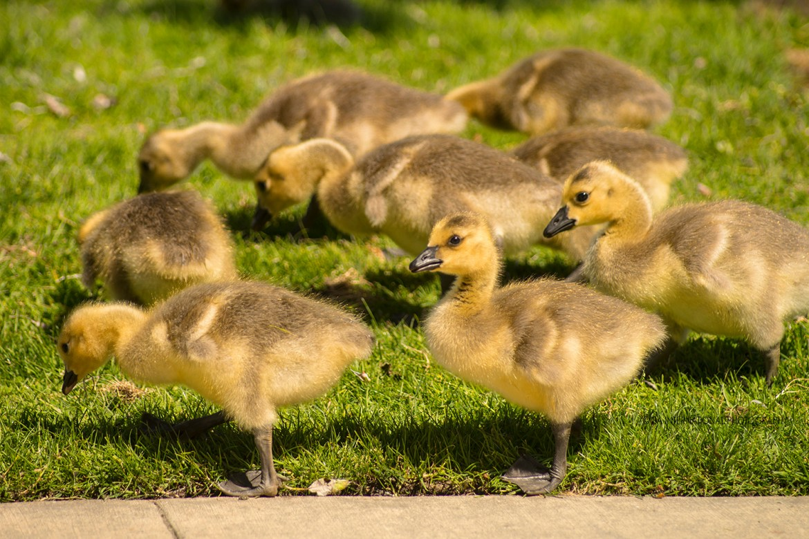 Goslings at Lake Union Park in Seattle.