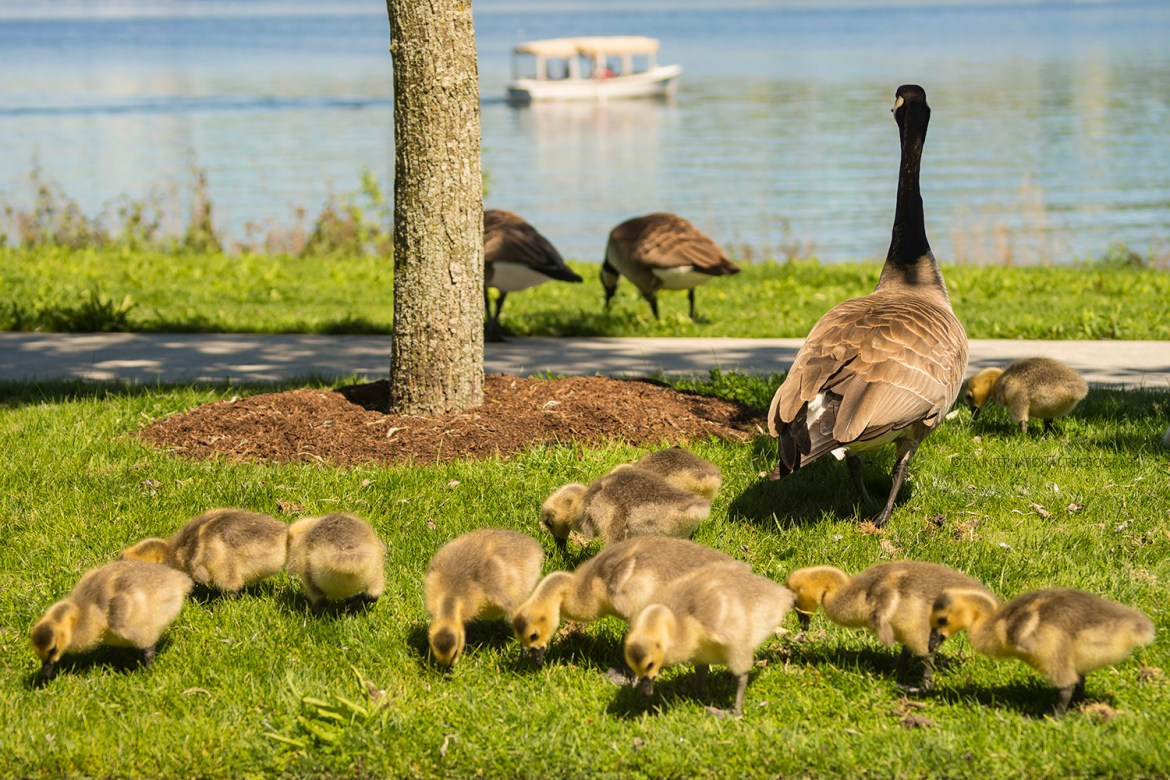Mother Goose and her goslings at Lake Union Park in Seattle.