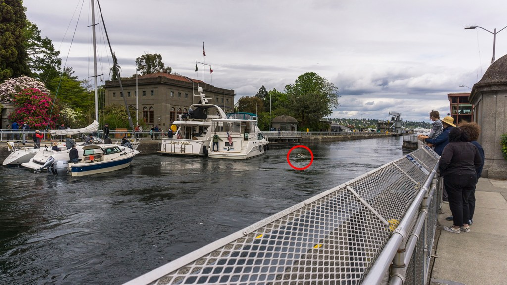 A goose at the Ballard Locks in Seattle. (May 8, 2021)