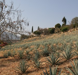 agaves2
