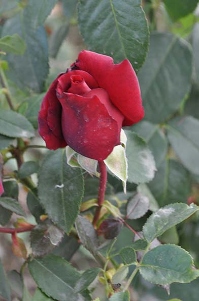 Foto d'una rosa