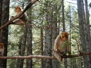Cedar Forrest Monkeys Ifrane