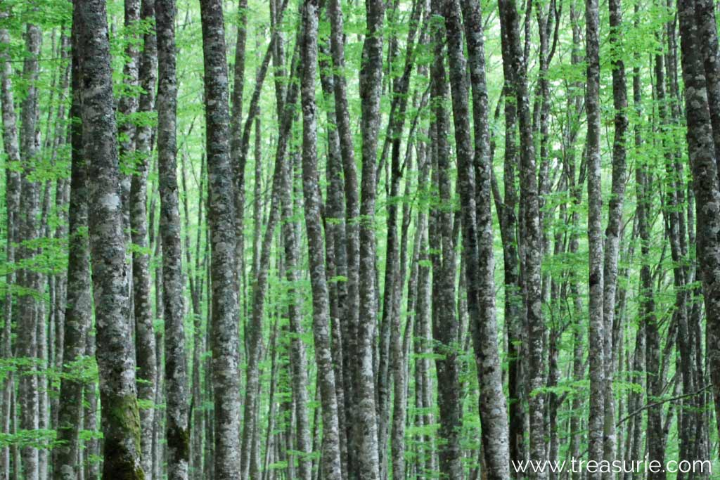What is Modal Made From - Beech Trees