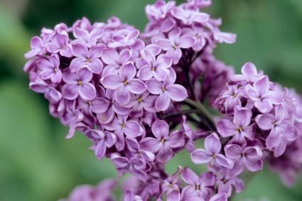 declaration-lilac