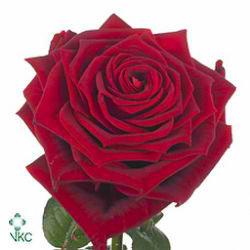 Rosa-bg-red-naomi-18