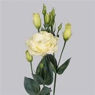 Eustoma Arena Gold