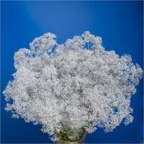 Gypsophila Silver