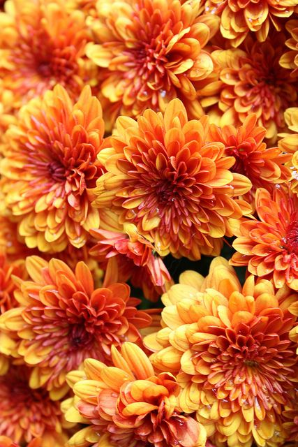 Guide to charming chrysanthemums