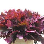 oak-leaves-dyed-cerise-wholesale
