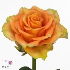 Rose Cuba Libra