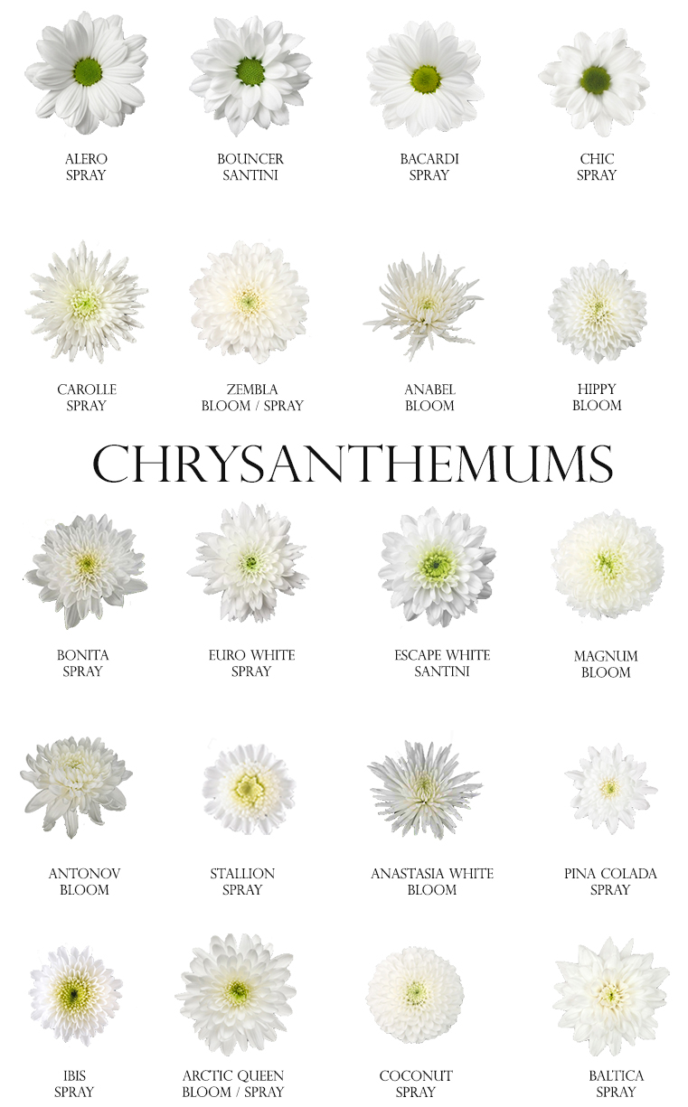 White Chrysanthemums.jpg