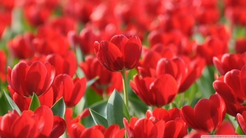 field-of-red-tulips_00449689
