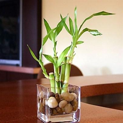 lucky bamboo.jpg