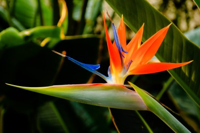 Strelitzia-reginae-1.jpg