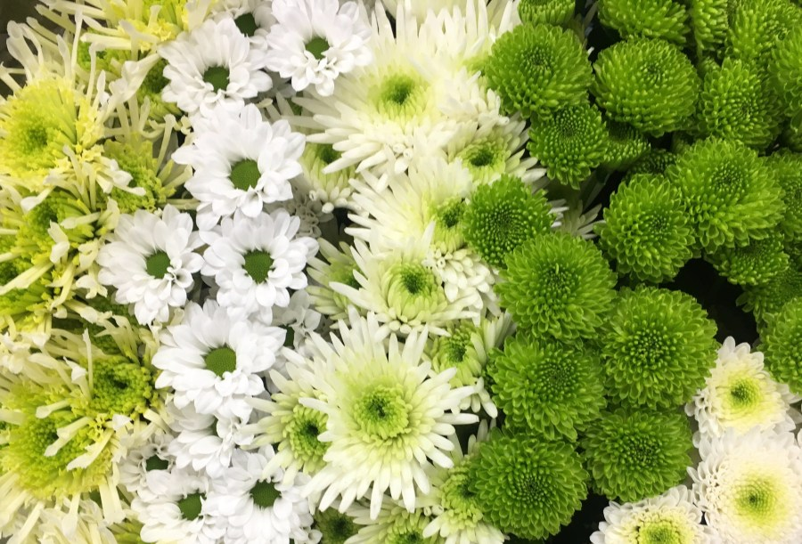 Chrysanthemum Santini Cold Mix