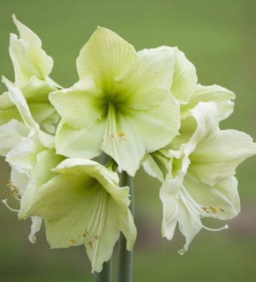 1c52fcb476db10c76614ad95420f6b31--amaryllis-beautiful-flowers