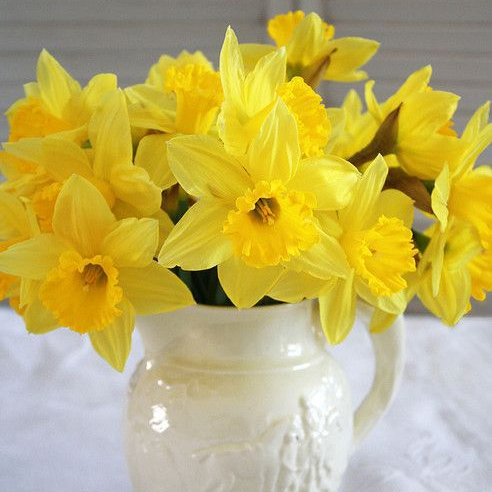 Daffodils (Narcissus) - Origin, Types and Inspiration
