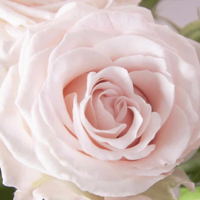 Rose Spray Aerobic