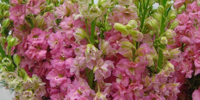 Larkspur Pink - Triangle Nursery